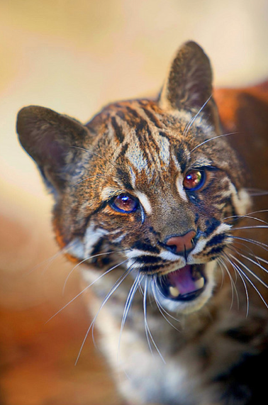Asian Golden Cat Saved from the Cooking Pot! Featured