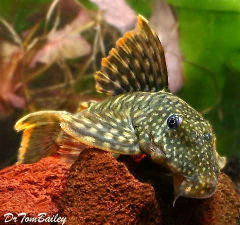 Premium New And Rare Orange Seam Pleco L106 2 To 2 5 Long Aquarium Fish Tropical Fish Beautiful Tropical Fish