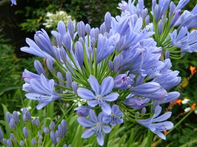 Flores So Flores Agapanthus Plants That Attract Butterflies Plants