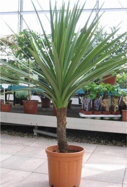 Cordyline Australis Giant Extra Large 5-6ft Specimen Palm