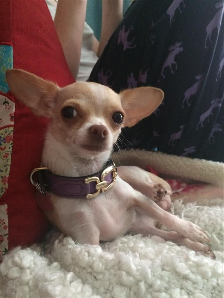 Lost Dog Chihuahua Short Haired Kingston On Canada K7k 3l9