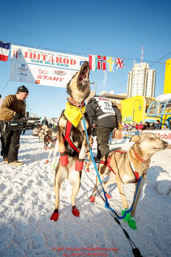 A Sebastien Vergnaud dog jumps in excitement of leaving the start line during the Ceremonial Start of the 2017 Iditarod in Anchorage on Saturday March 4, 2017 Photo by Jeff Schultz