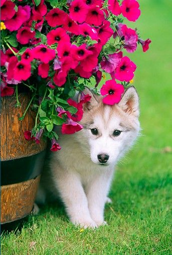 Springtime flowers and a cute husky puppy!  My Sister will LOVE this picture!  Future husky owner!