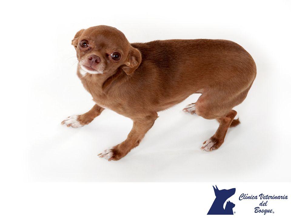 El comportamiento del perro cuando se asusta. CLÍNICA VETERINARIA DEL BOSQUE. Cuando un perro se encuentra asustado, pone la cola entre sus patas para cubrir las glándulas de olor en el área anal. Estas glándulas tienen un olor único que identifican a cada perro, este comportamiento es el equivalente canino a los humanos que esconden sus caras cuando se sienten inseguros. En Clínica Veterinaria del Bosque contamos con etólogos especialistas en comportamiento animal…