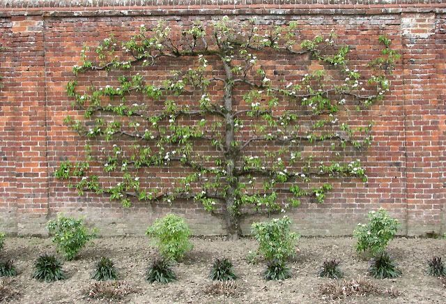 Rørig Espalier fruit trees - a great way to save space and have fresh WN-14