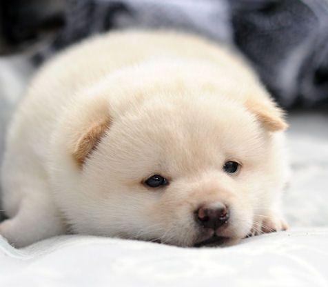 Shiba puppy omg so adorable