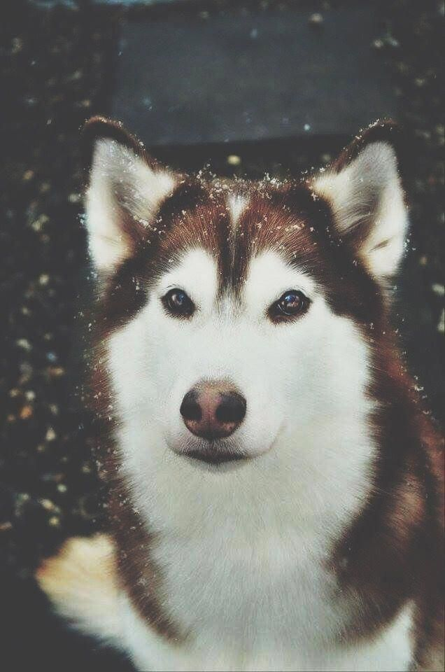 The Traits We All Like About The Agile Siberian Husky