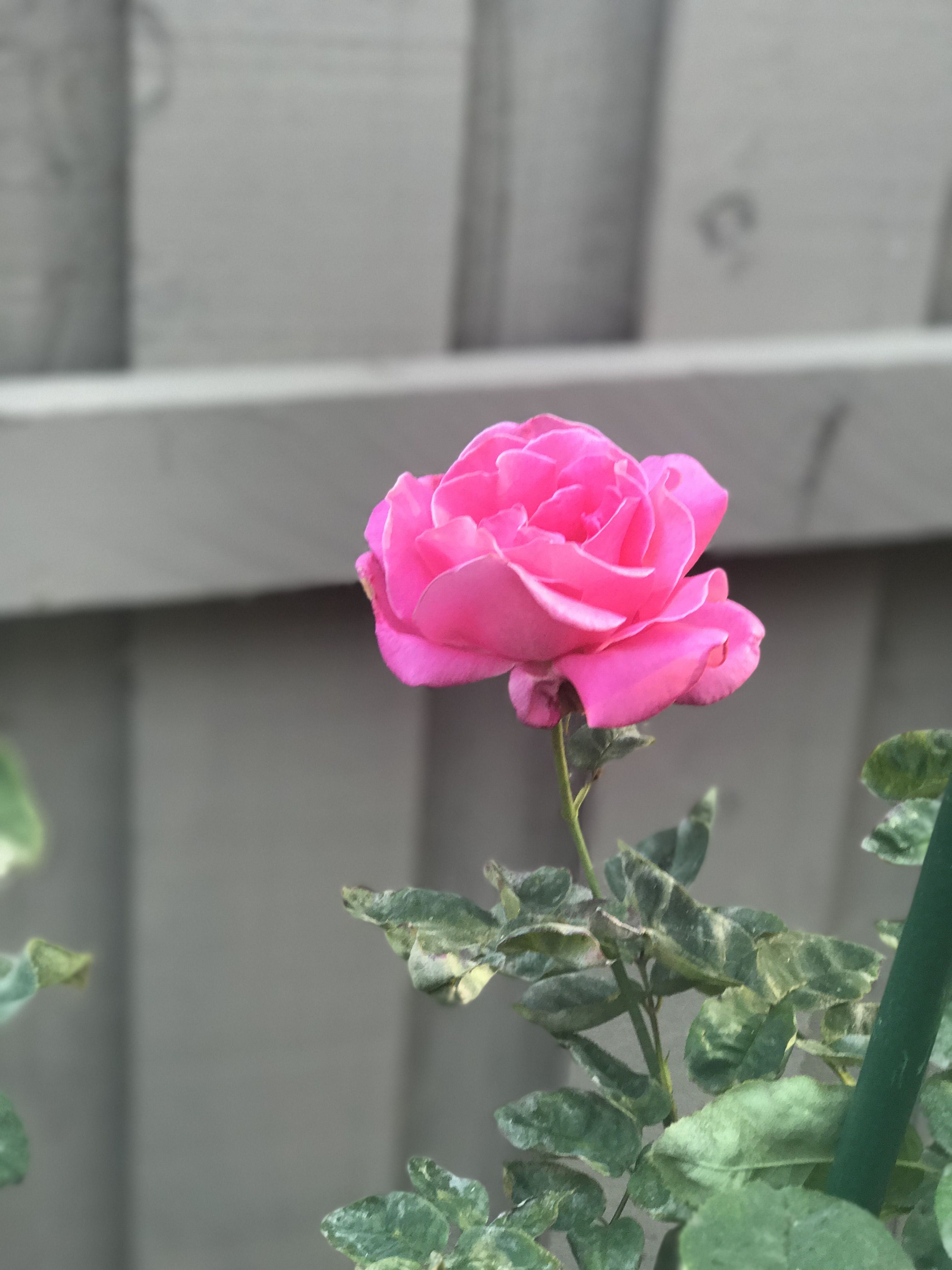Pin by Susan HartRamos on Garden Flowers, Plants, Rose