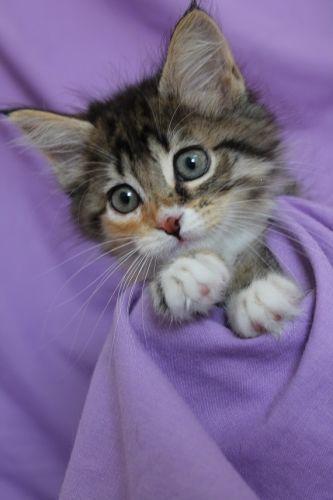 sonate chaton type europ en sexe femelle age b b taille petit lieu yvelines 78. Black Bedroom Furniture Sets. Home Design Ideas