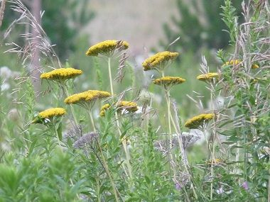 Yarrow Pictures Flowers Leaves And Identification Yarrow Plant Wild Edibles Edible Plants
