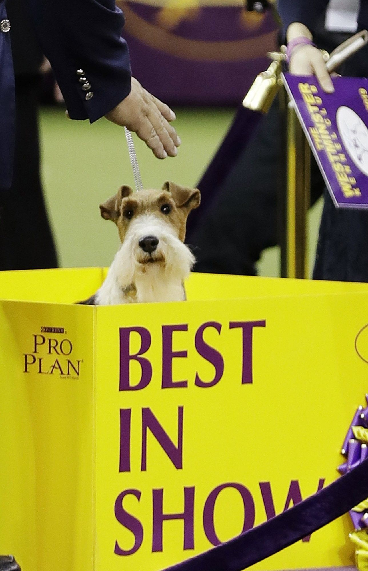 King A Wire Fox Terrier Poses For Photographs After Winning Best