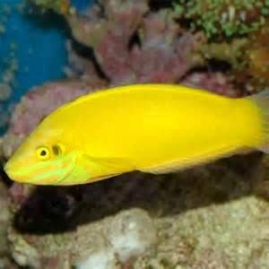 Wrasse Fish Yahoo Image Search Results Wrasse Saltwater Aquarium Image