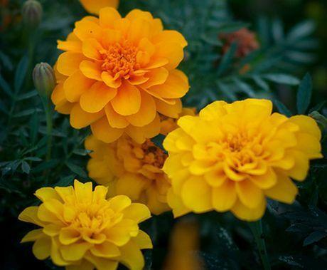 Guide to growing african marigold french marigold and mexican guide to growing african marigold french marigold and mexican marigold yardpretty flowersfrenchplantsgardening mightylinksfo