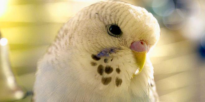 ببغاوات الدر ة البادجي Budgie Animals Birds Bird