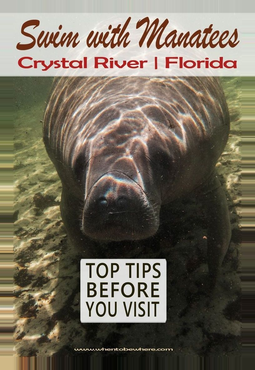 #crystal #florida #manatees #river #winter break bucket list kids Manatees – Crystal River Florida Top tips for seeing, swimming and s