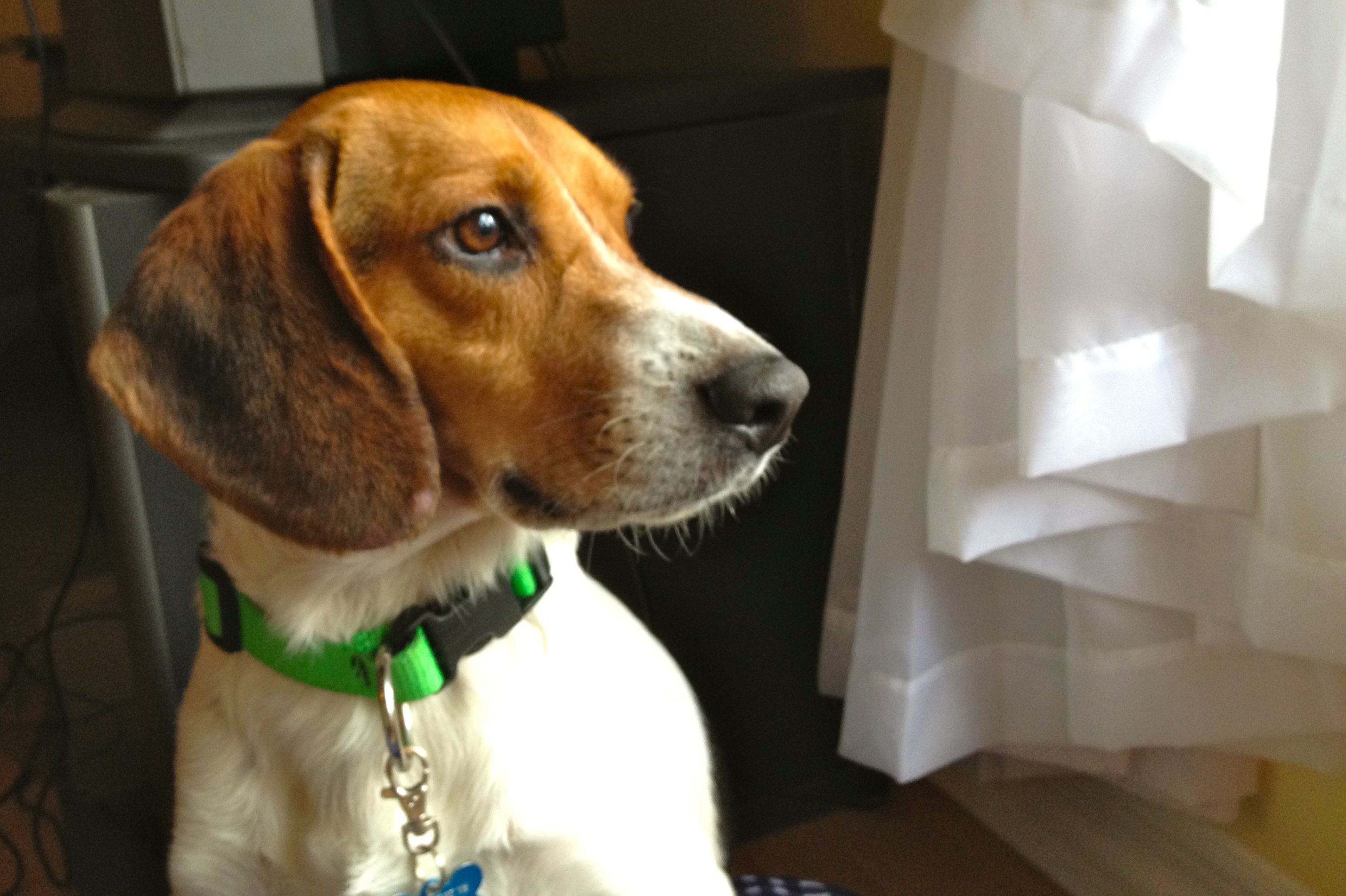 This is Shaggy. He's my new foster and is available for
