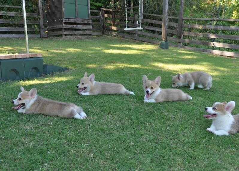 Litter Of 6 Pembroke Welsh Corgi Puppies For Sale In Castroville Tx Adn 64872 On Puppyfinder Com Gender Ma Corgi Puppies For Sale Pembroke Welsh Corgi Corgi