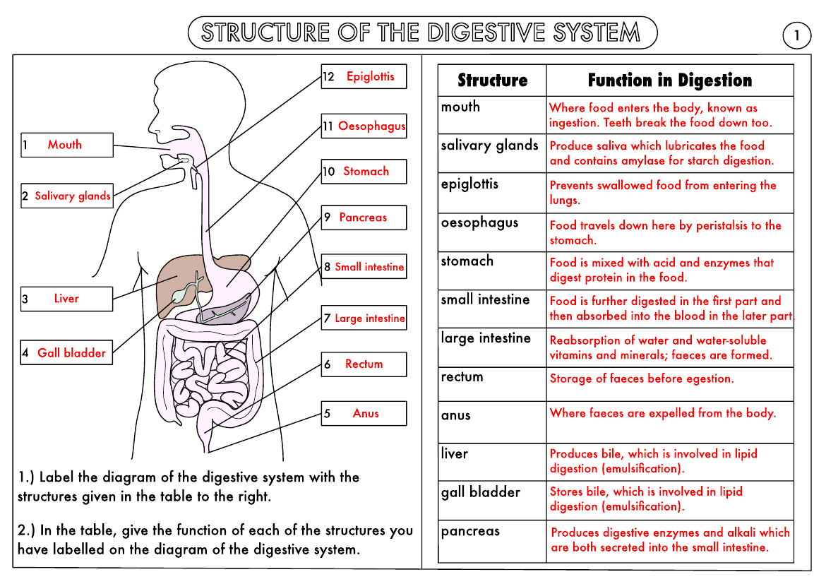 Digestive Tract Worksheet   Printable Worksheets and Activities for  Teachers [ 827 x 1170 Pixel ]