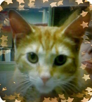 Trevose, PA - Domestic Shorthair. Meet Murtaugh, a cat for adoption. http://www.adoptapet.com/pet/15833370-trevose-pennsylvania-cat