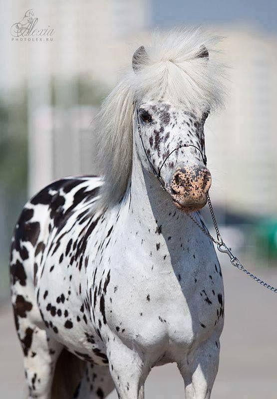 Miniature leopard Appaloosa horse  | Horses | Appaloosa