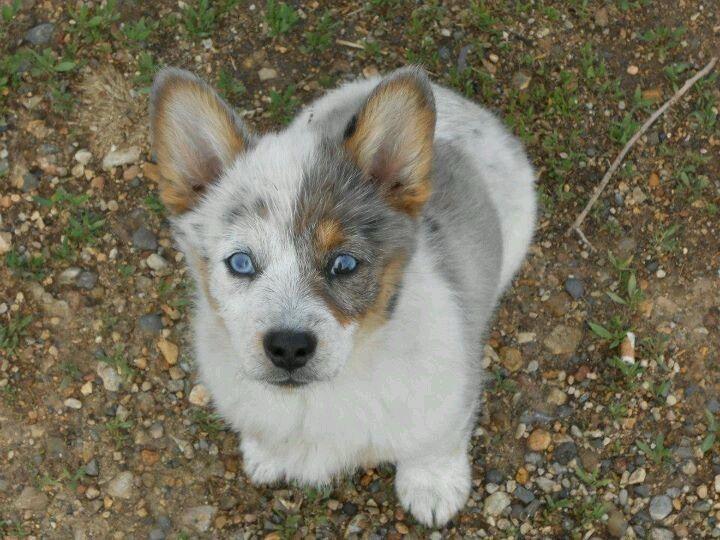 Buy Corgi Puppies For Sale In Queensland Australia