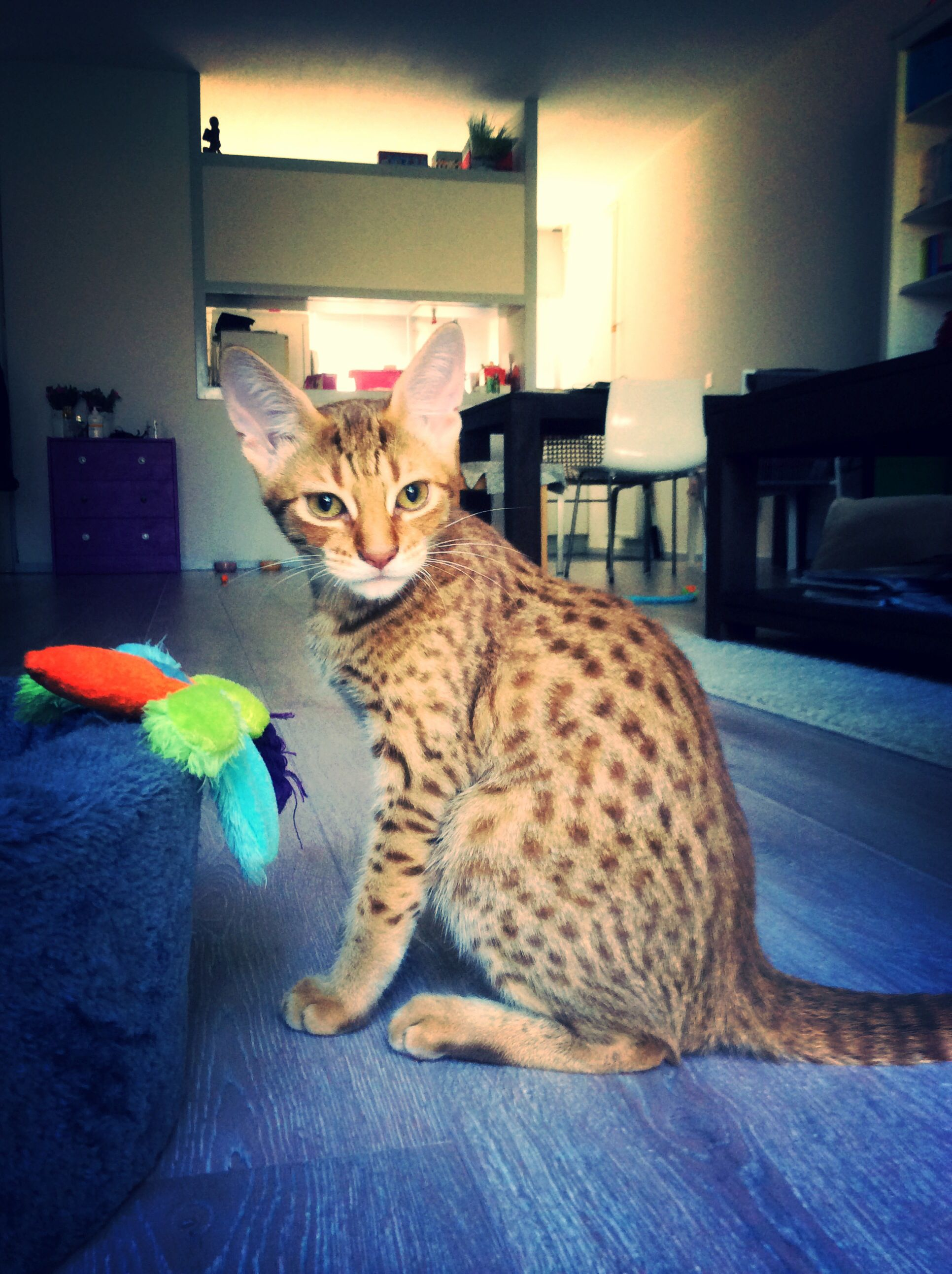 This is my cheetoh cat Beau ❤ Half ocicat