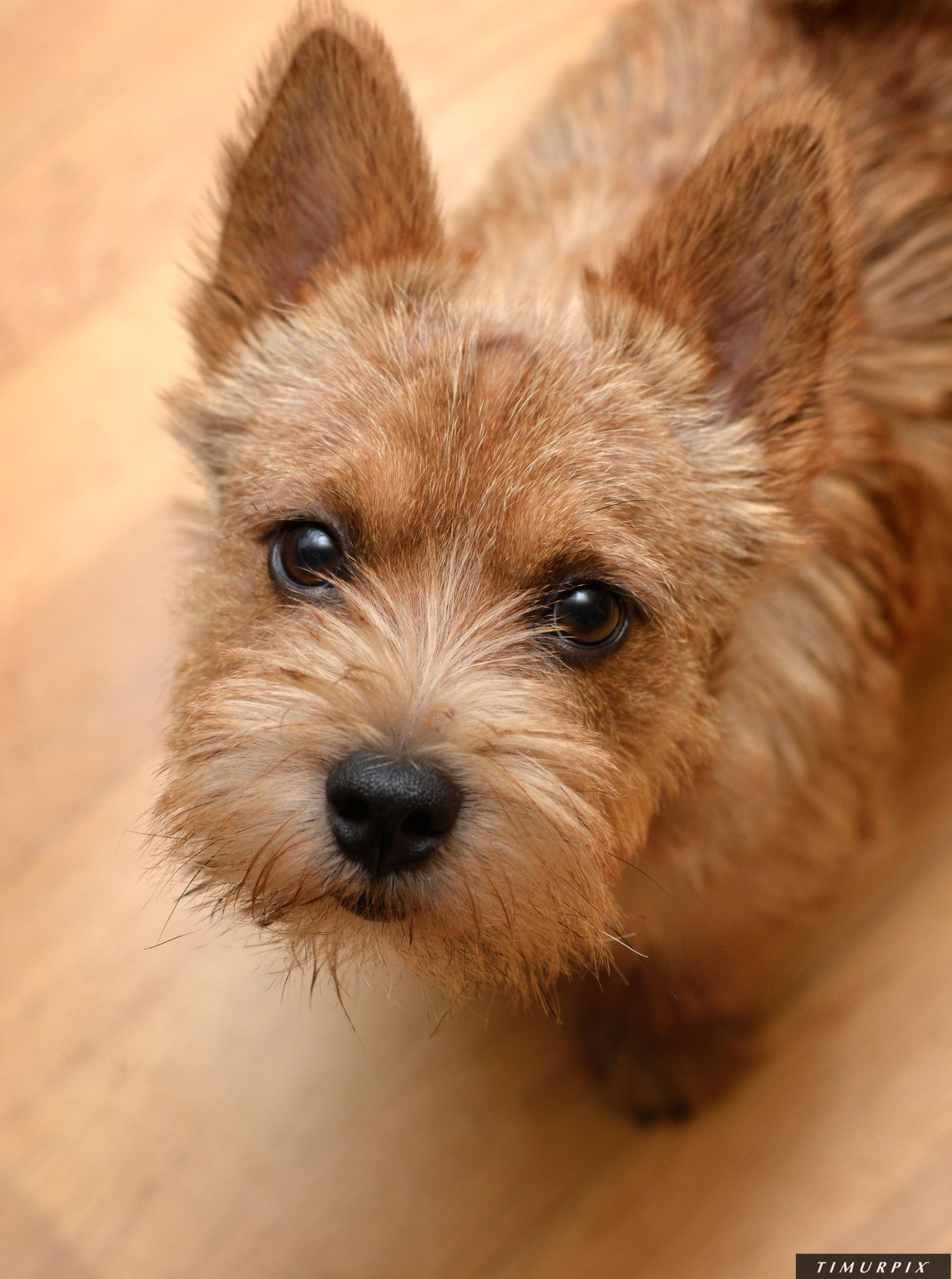 Toby Norwich Terrier Photo By Timurpix Norwich Terrier Puppy Norwich Terrier Norfolk Terrier