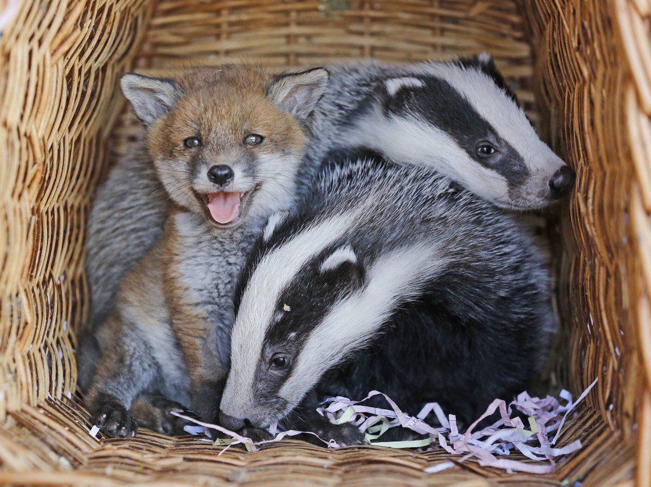 The daily Fox on Baby badger, Animals, Animals beautiful