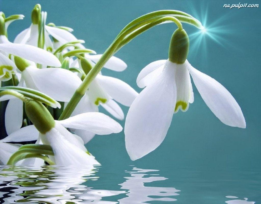 Bucaneve Si Rispecchiano In Acqua Flowers Nature Nature Garden Flowers