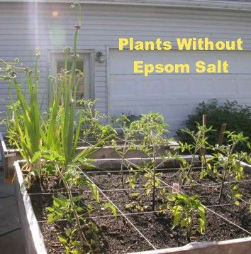 Why I Use Epsom Salt In The Garden Plants Lawn And Garden Growing Food