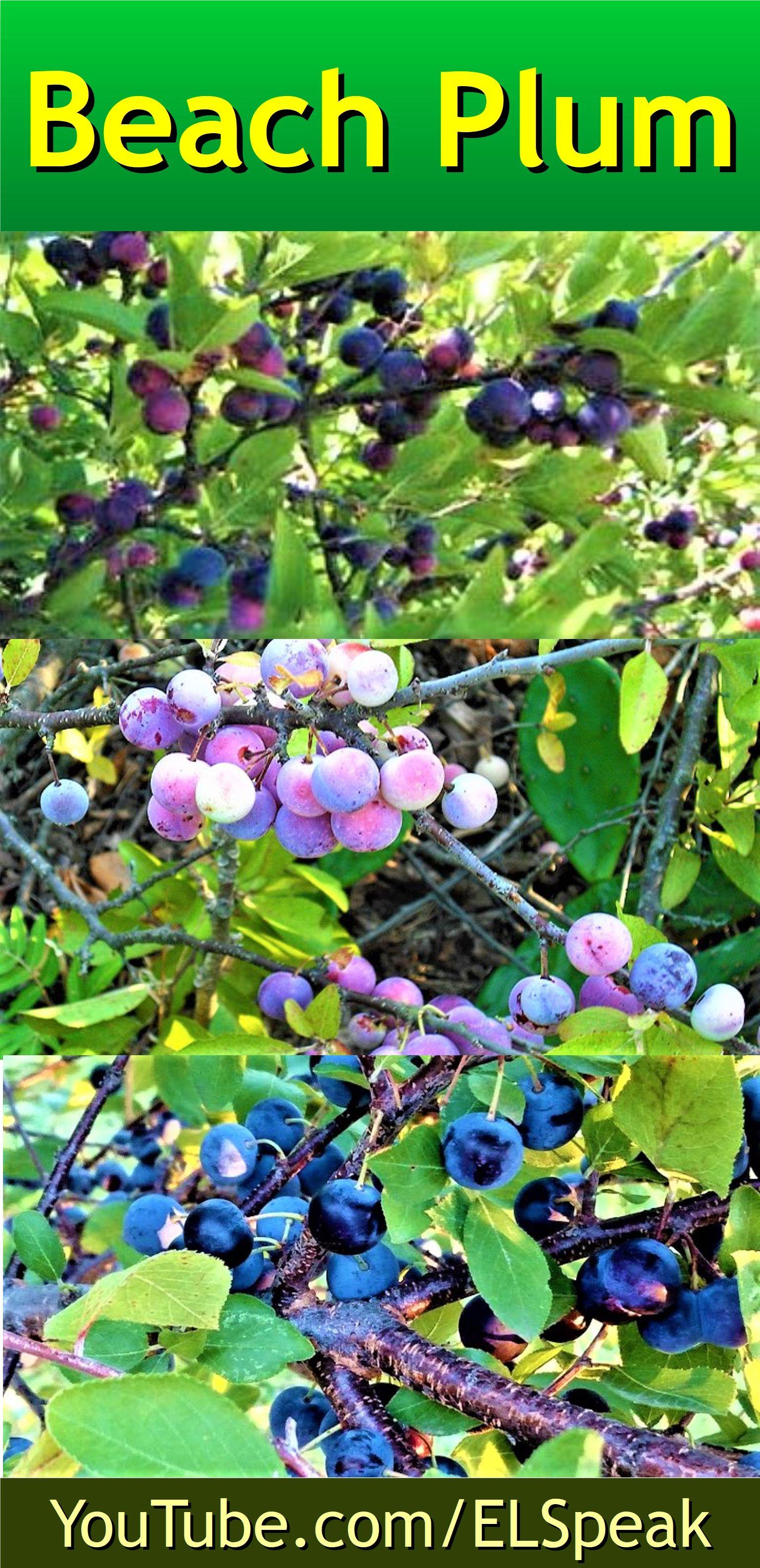 Beach Plum Fruits name in english, Fruit list, Fruit names