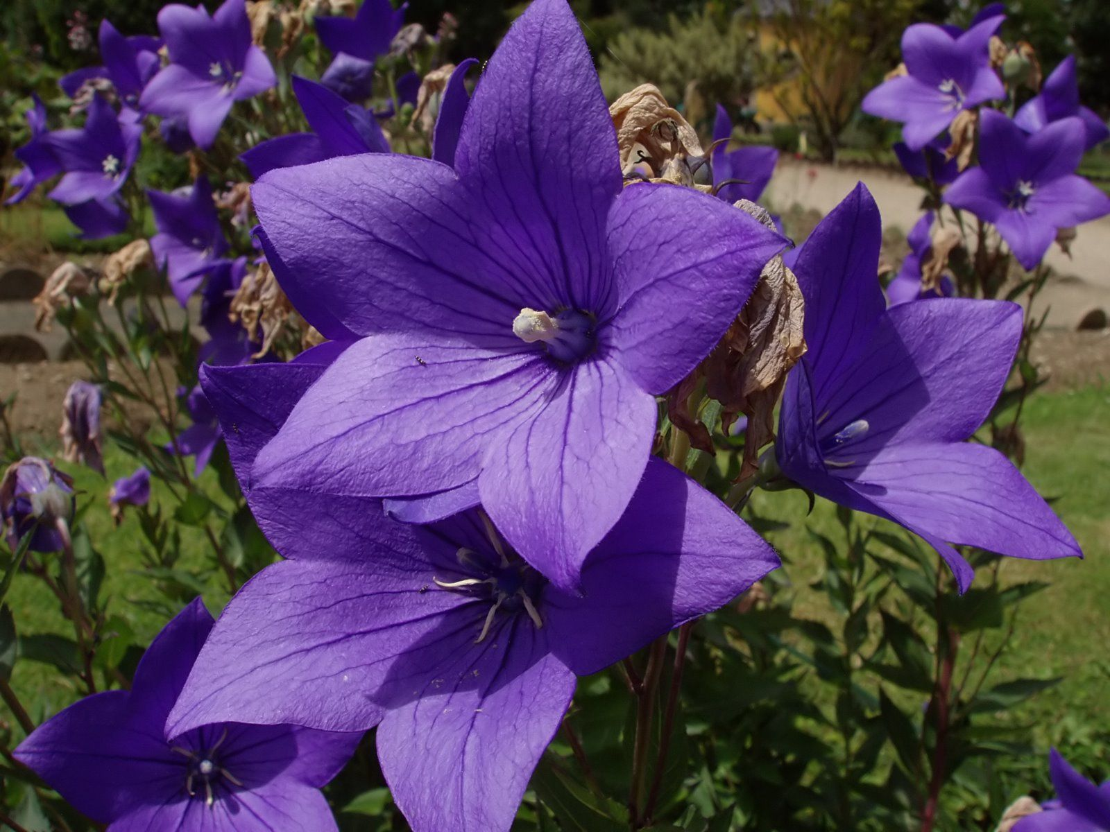 Long blooming perennial balloon flower platycodon grandiflorus long blooming perennial balloon flower platycodon grandiflorus part to full sun dhlflorist Image collections
