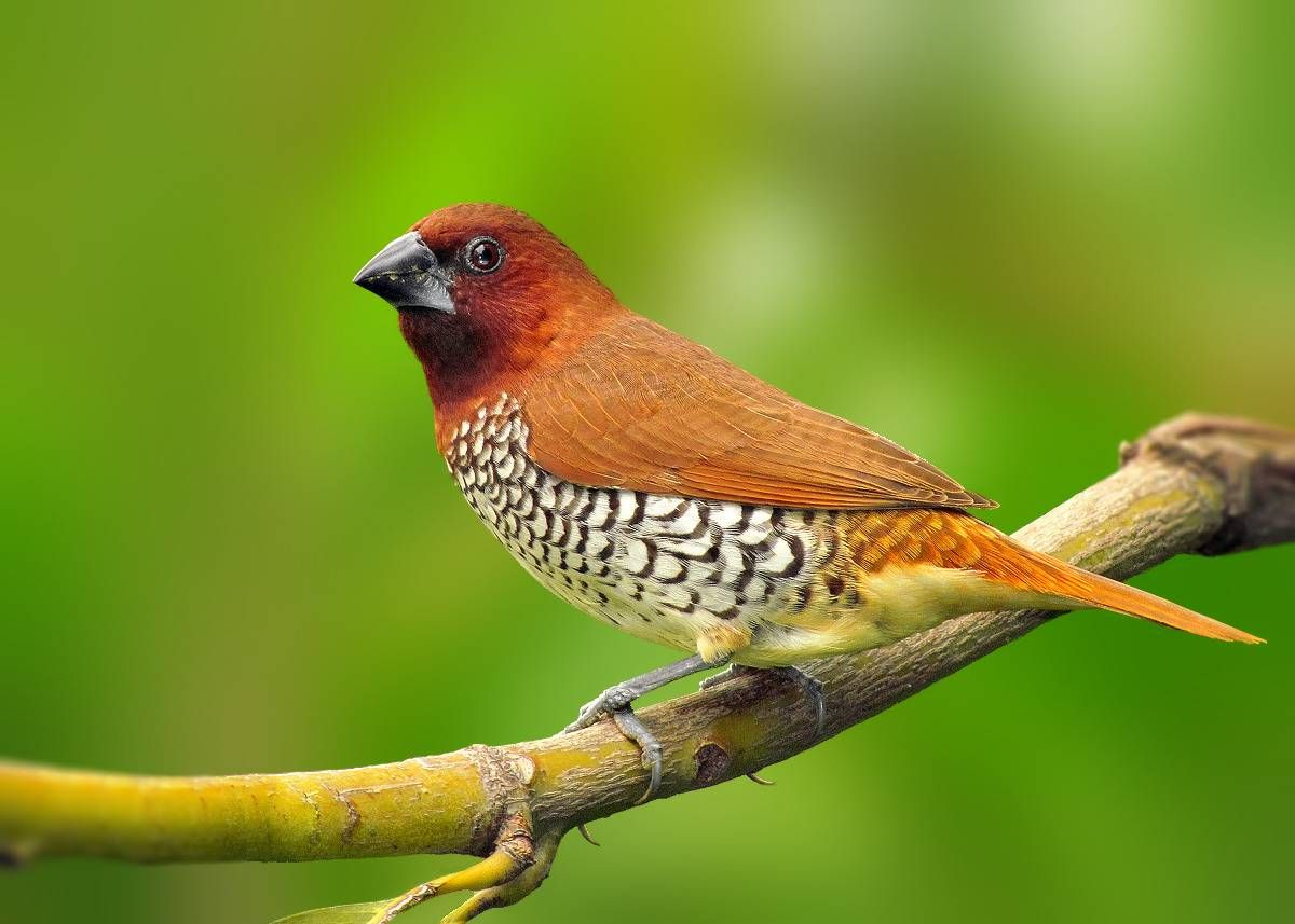 Spice Finch, There richness of the browns with the white scalloped breast makes this finch a beauty.