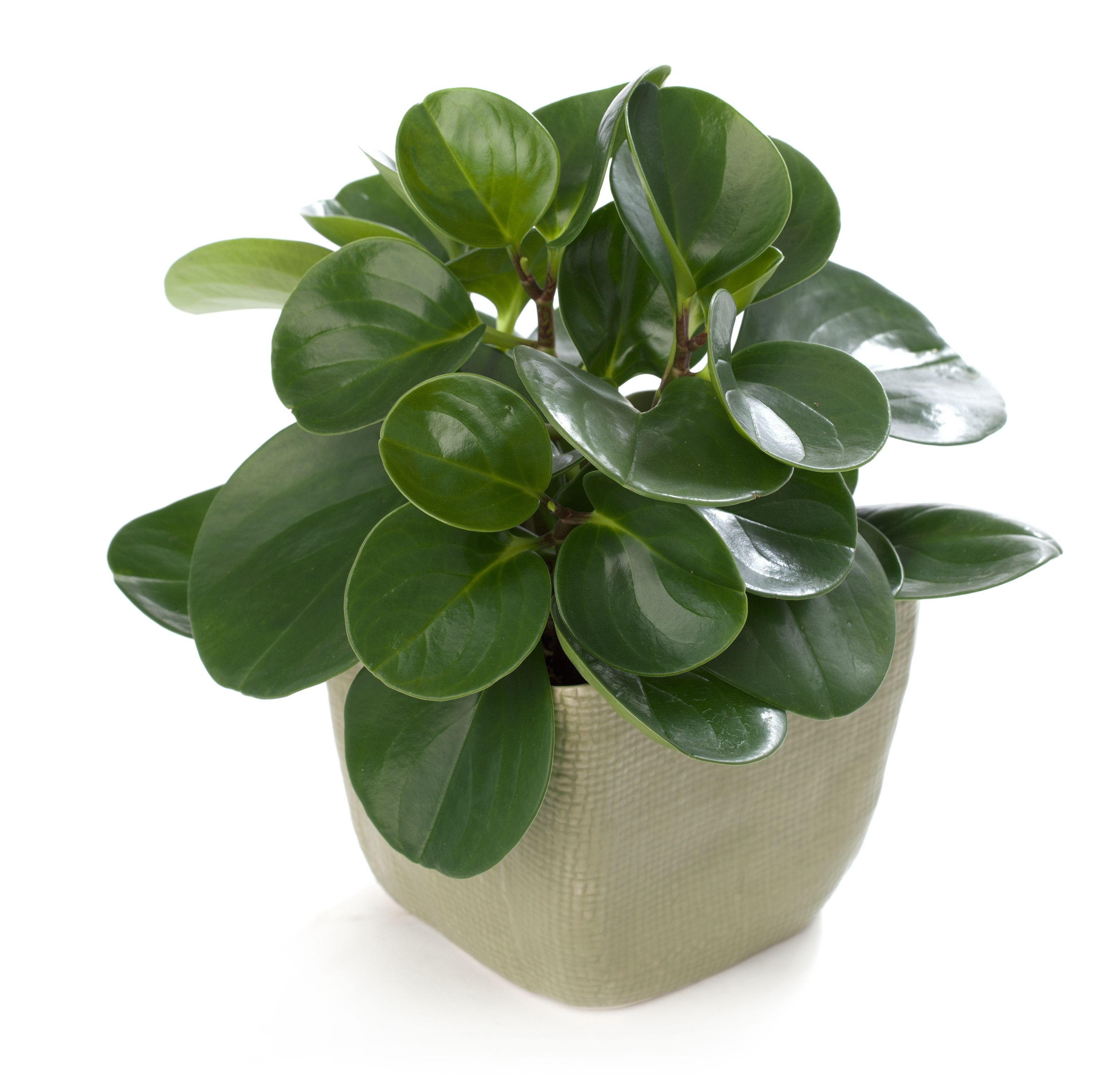 Peperomia obtusifolia kitty safe plants pinterest rubber plant high humidity and plants - Five indoor plants that absorb humidity ...