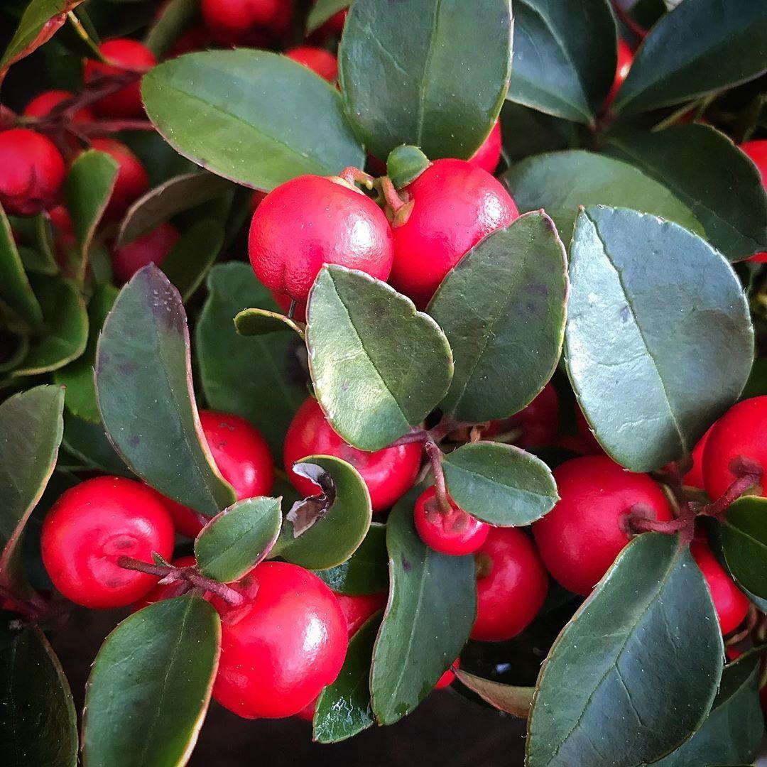 Gaultheria Procumbens Winterberry Creeping Wintergreen Is An