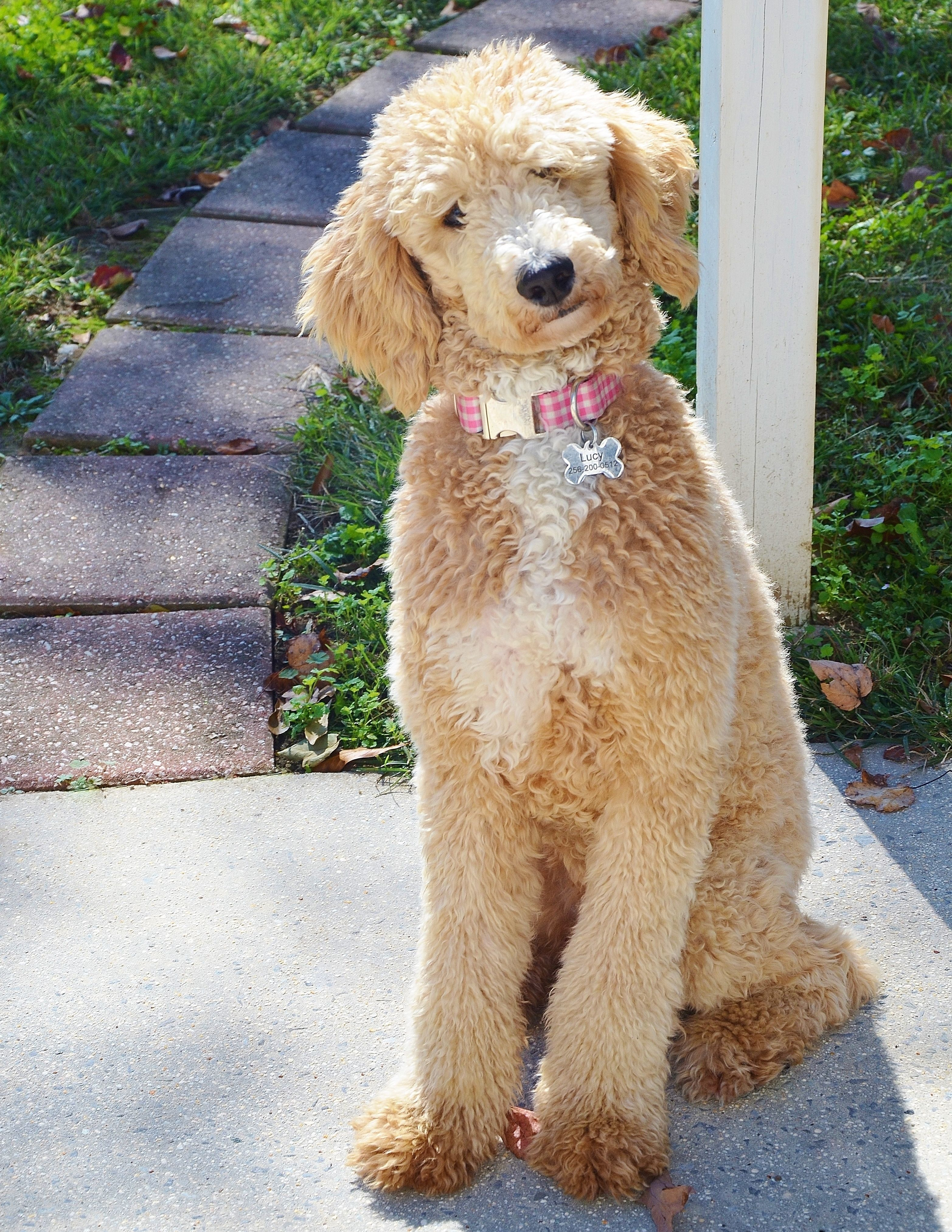 Standard Poodle Goldendoodle Puppies This Is Lucy Www