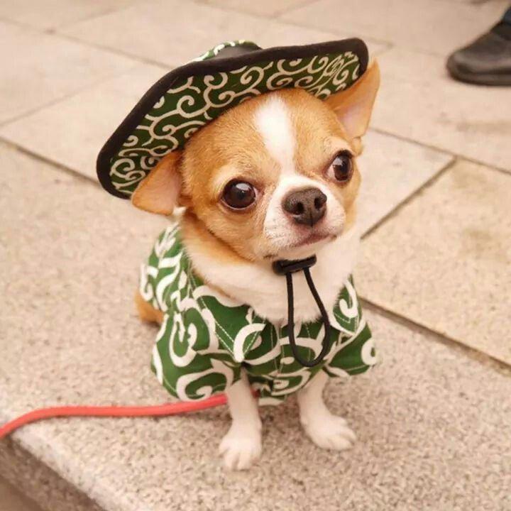 Love Me Cute Chihuahua Chihuahua Dogs Chihuahua Puppies