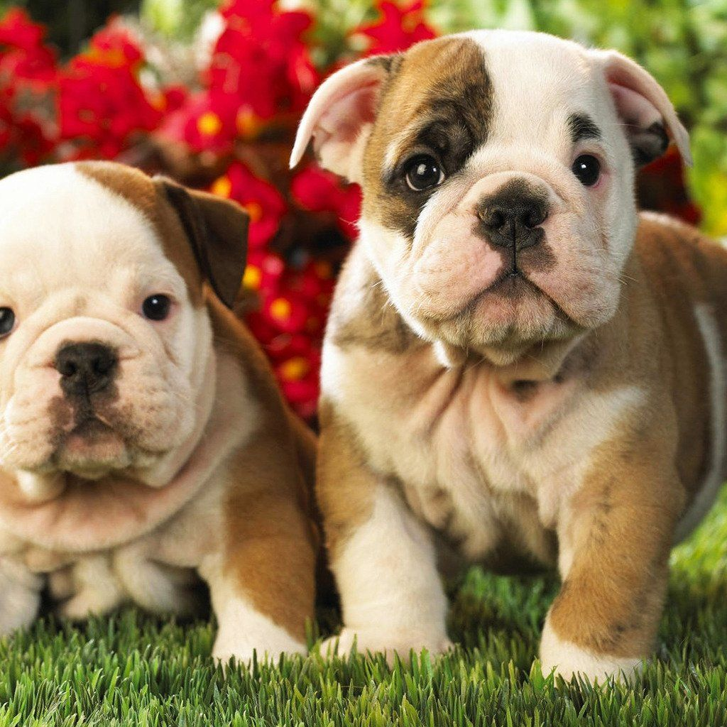 Free English Bulldog Puppies English Bulldog Puppies Hd Ipad