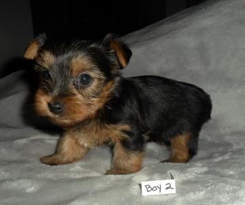 Yorkshire Terrier Yorkie Puppies For Sale From Springfield Missouri Breeders