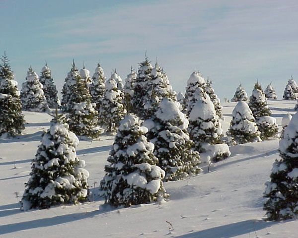 Winter In Northern Michigan Snow On A Christmas Tree Farm Michigan Christmas Pictures Of Michigan Christmas Tree Farm