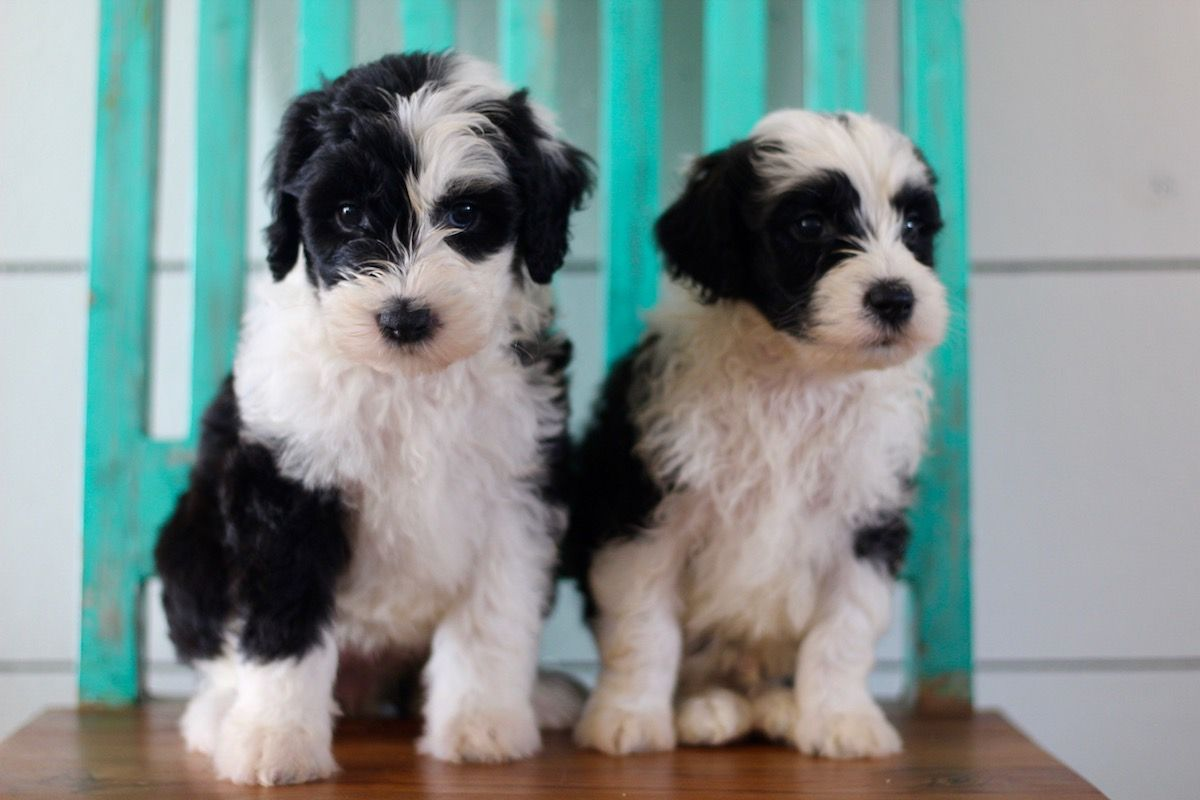 Sheepadoodle Puppies From Native Doodles In Okc Sheepadoodle