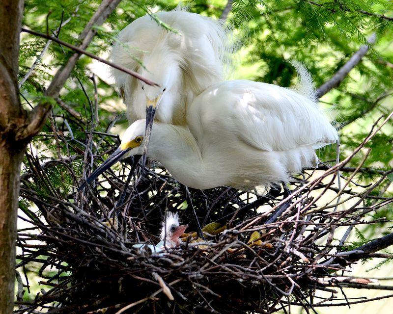 10_Virginia Living Museum Snowy Egret 1