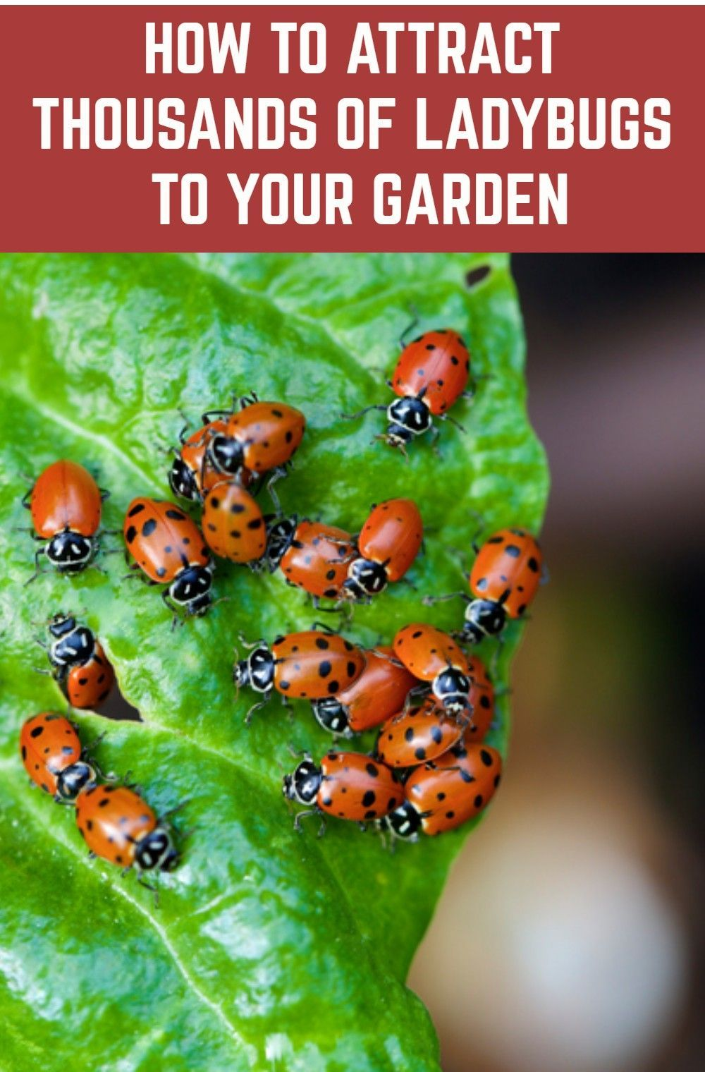 Not only are they beautiful, ladybugs are the number one most beneficial insect for your garden. Here's how to attract them and keep them in your garden.
