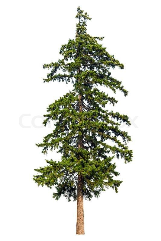 Tree Sap Remover >> 4765337-fir-tree-isolated-on-white-background.jpg 533×800 ...