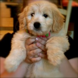 Mini Goldendoodle Puppy At 8 Weeks Quite Possibly The Cutest