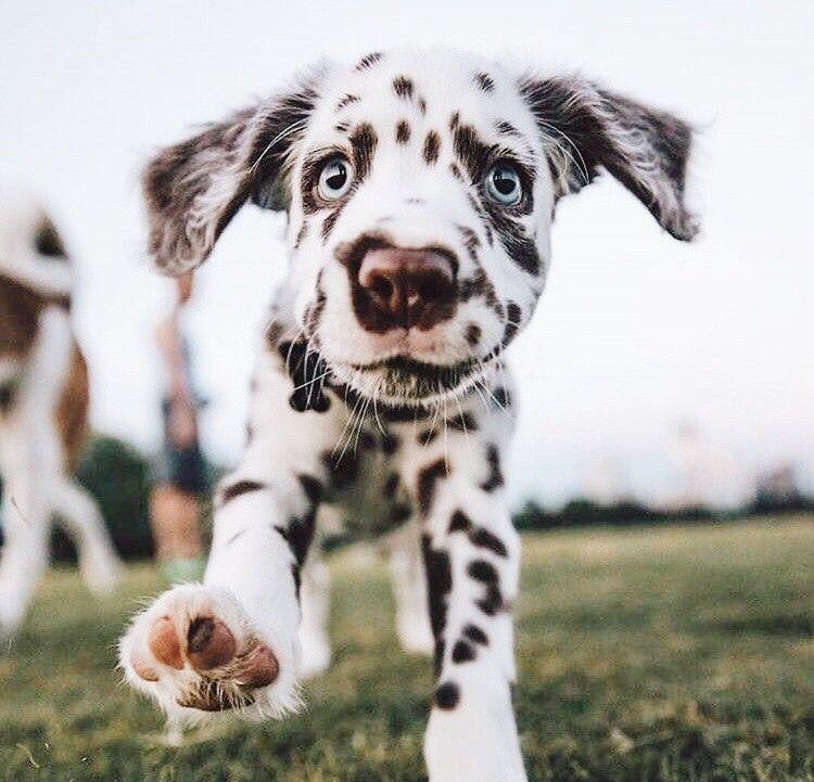 dalmatiner mischling welpen