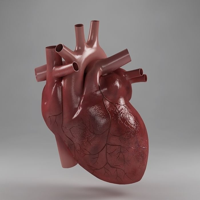 Anatomy Heart Project Awesome Heart Anatomy 3d Model Misc