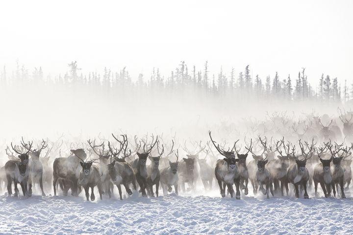 Reindeers migration