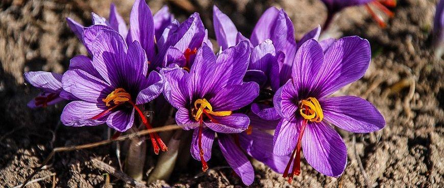 The Fragrant and Fun-Filled Kashmir Saffron Festival # ... Kashmiri Saffron Corms For Sale