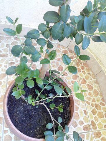بعد بحث استغرق عدة ساعات الحمد لله قدرت اعرف اسم النبات ده و فصيلته و كام معلومة حلوين عنه هما فصيلتين قريبين من بعض اوي لهم بالعربي اسما Plants Growing